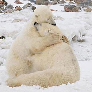 Polar bear hugging wolf - photo#20