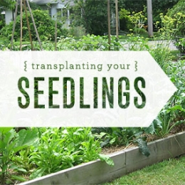 Part Two: Transplanting Your Seedlings